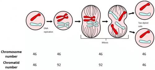 細胞の 減数分裂 について分かりやすく説明する
